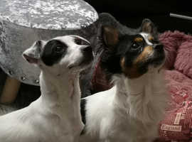beautiful Chihuahua x jack russel puppies for sale