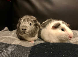3 Month Old Baby Guinea Pigs