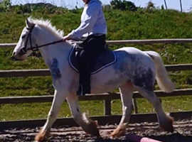 13hh 6 year old  welsh cross cob