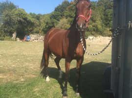 15.3 Irish mare