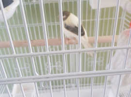 Canaries with bird cage