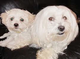 Pure Bred Maltese Puppies