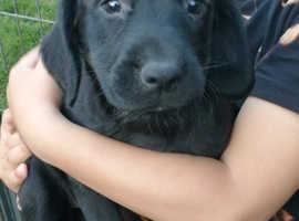 Springer x labrador pups