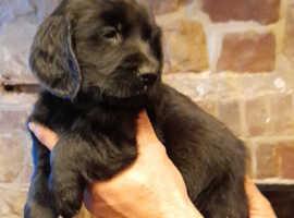 Flatcoat x lab puppies