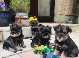 Schnauzer Puppies