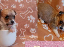 4 stunning gorgeous Chihuahua puppies KC REG