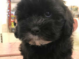 Two very cute shihtzu x poodle pups
