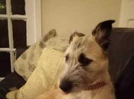 12 month old weaten terrier bitch
