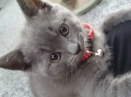 Scottish straight kitten male