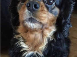 Beautiful Black And Tan Cavalier For Stud