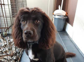 i am looking to stud my beautiful 1 year old sprocker sprocket.