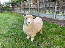 Ryeland Pure (unregistered) Ewes