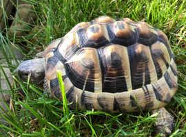 HERMANN tortoise 16 years