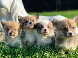 Stunning pedigree Pembrokeshire corgis for sale