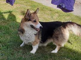 Pembrokeshire corgi pups due next week