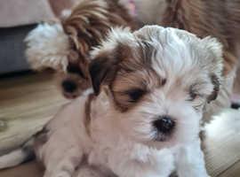 1 Boys and 1 girl left malshi puppi