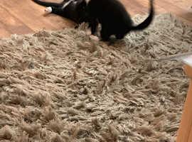Black and white Kittens~