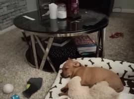Boxador puppy