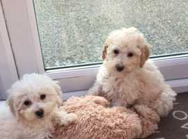 CUTE AND CUDDLY -  POODLE X  CAVAPOOCHON PUPPIES