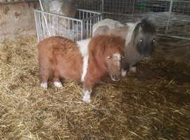 Minature shetland mares