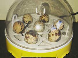 Fertile quail eggs