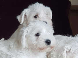 White miniature schnauzers puppies for sale