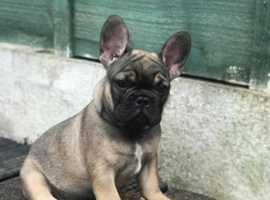 Stunning chunky french bulldog puppies!!!