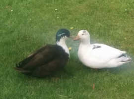 2 male colourful character garden call ducks