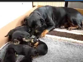 Rottweiler puppies for sale 8 weeks old ready now £1799