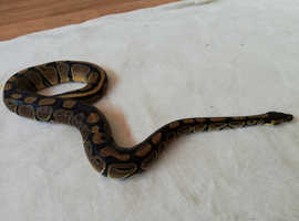 Royal Ball Python, Harlequin, Viv & Accessories