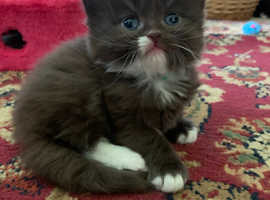 Persian cross kittens