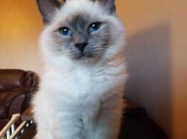 Birman, Blue Colourpoint kittens