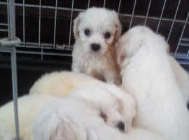 Hi I'm so please to say I have got 6 butifull  Cavapoo puppies looking for there forever homes