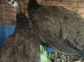 Peafowl pair