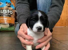 Adorable Springer Spaniel Pup