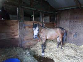 Stunning buckskin colt
