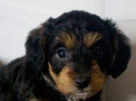 6 beautiful schnoodle f1b puppies