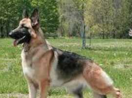 Wanted male german shepherd