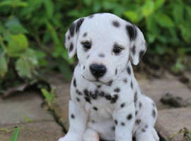 Dalmatian Puppy Wanted