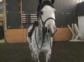 Eye-catching show jumper for sale