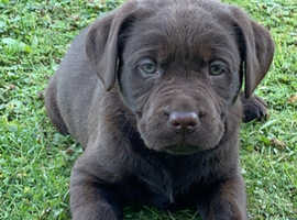 Beautiful Labrador Puppies For Sale In Essex Cm1 On Freeads