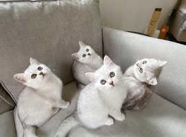 Stunning silver shaded British shorthair kittens