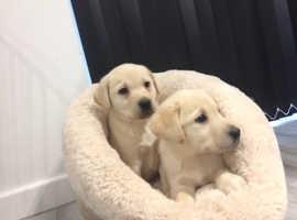 Golden Labrador puppy's