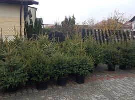 Real Christmas trees Nordmann fir & Sprouts