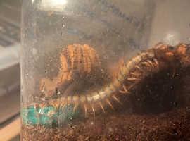 Nigerian giant banded centipede