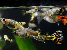 Guppy fish adult and juveniles and babys for sell