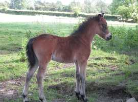 Registered Dartmoor Colt Foal