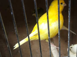 yellow      and  pied      SINGING     CANARIES