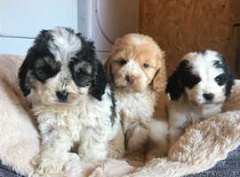 Stunning Cockapoo pups