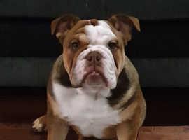 Bulldog male puppies